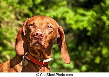 Hungarian Vizsla dog portrait in the nature. Hungarian pointer Vizsla, sniffing on hunt. Dog a loyal friend of a hunter. Detail of dog head.