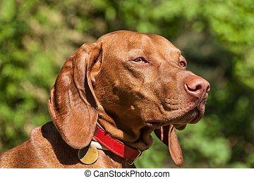 Hungarian Vizsla dog portrait in the nature. Hungarian pointer Vizsla, sniffing on hunt. Dog a loyal friend of a hunter. Detail of dog head.