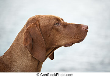 Hungarian Vizsla Dog Profile