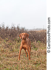 Hungarian Vizsla Dog Standing in a Field