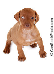 Hungarian Vizsla pointer puppy seated and looking up to the ...