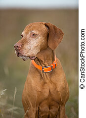 hungarian vizsla portrait outdoors