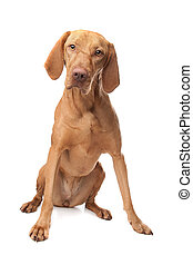 Hungarian Vizsla in front of a white background