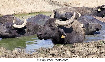 Hungarian water buffaloes