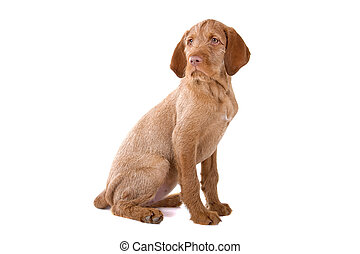 Hungarian wire haired vizsla puppy sitting and looking forward, isolated on a white background