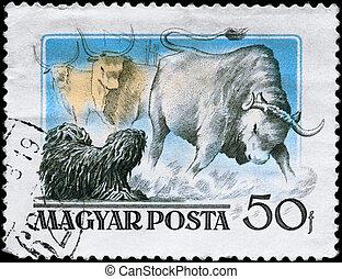 HUNGARY - CIRCA 1956 Puli and Steer - HUNGARY - CIRCA 1956:...