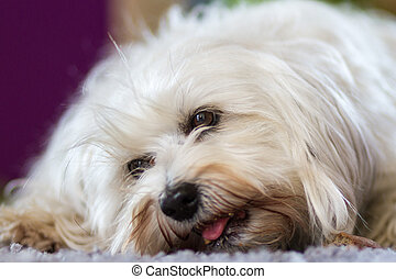 Hunger - A small white Havanese while eating a bone on the...