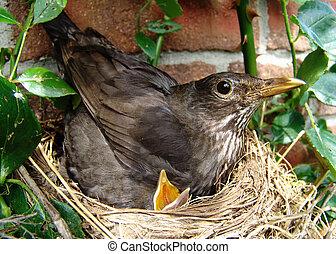 hunger! - blackbird and blackbirdie in a nest