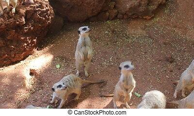 hungrig, meerkats