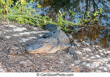 Hungry Alligator waits for reckless tourists in Brazos Bend ...