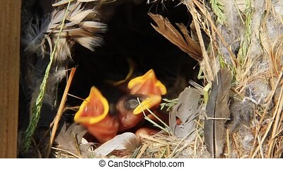 Hungry baby birds in the nest - Four hungry baby birds in...