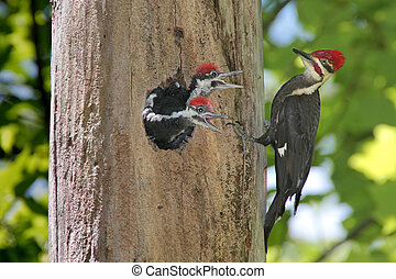Pileated Woodpecker (Dryocopus pileatus) feeding hungry babies