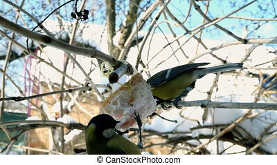 Hungry birds, Great tit or parus major, are pecking lard which hangs from branch in garden.