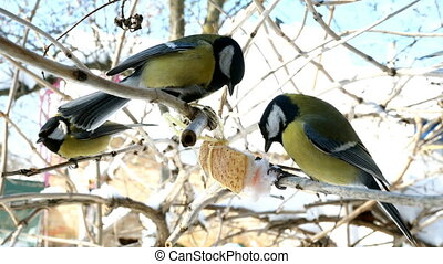 Hungry birds, Great tit or parus major, are pecking lard which hangs from branch in garden or backyard at home. Feeding birds in wintertime. Close-up.