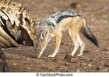 Hungry Black backed jackal looking for food at hippo carcass