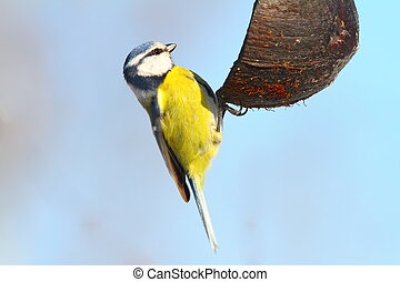 hungry blue tit on coconut feeder