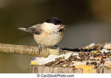 hungry coal tit at garden bird feeder