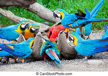 hungry colorful macaw