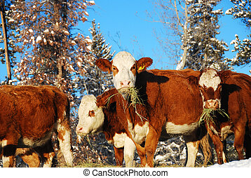 hungry cows - cows in winter