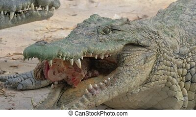 Hungry crocodile with meat in jaws - Close-up shot of...