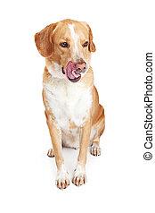 Hungry Crossbreed Dog Licking Lips - Large dog sitting...