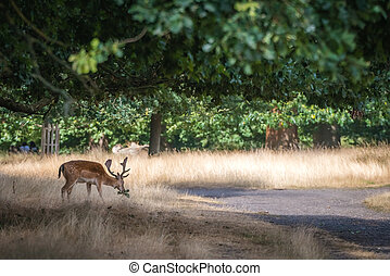 Hungry deer looking for food