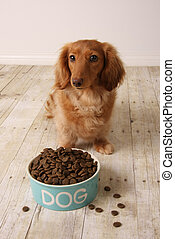 Hungry dog and food. - dachshund dog seating in front of her...