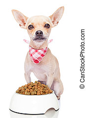 hungry dog - hungry chihuahua dog with a food bowl and red ...