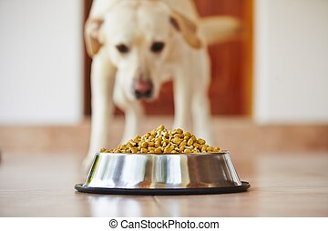 Hungry dog - Hungry labrador retriever is feeding at home.