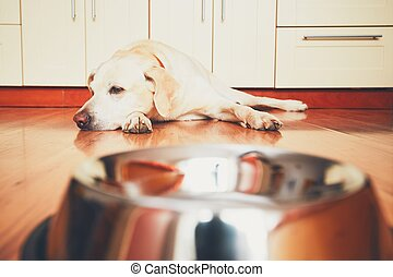 Hungry dog waiting for feeding - The dog in front of the...