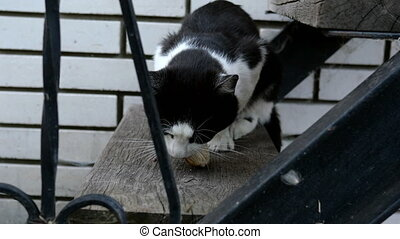 Hungry domestic or homeless black-and-white cat, with an...