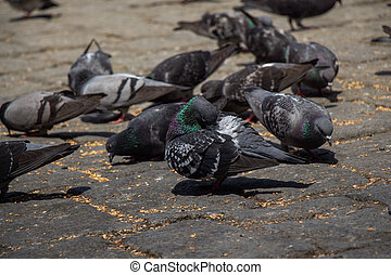 Hungry  flock  of pigeons feeding in the street