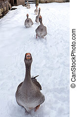 Hungry geese in village