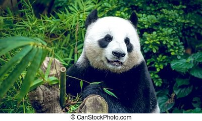 Hungry giant panda bear eating green bamboo. Slow motion 4K footage