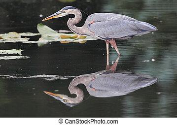 Great Blue Heron - Hungry Great Blue Heron (Ardea Herodias)...
