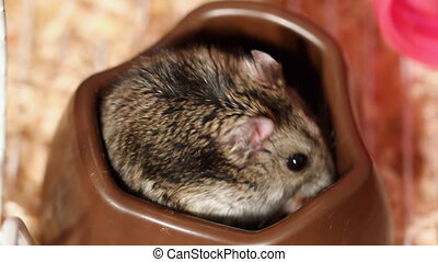 hungry hamster eat corn