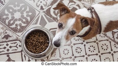 hungry jack russell dog behind food bowl top view - hungry...