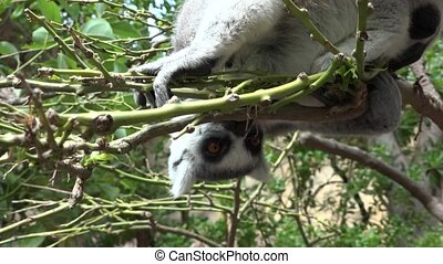 Hungry Lemur Eating In Tree