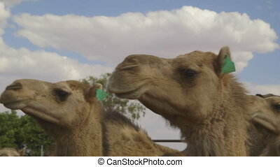 Hungry looking farm camels, Northern Territory - High-angle...