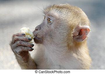 Hungry monkey eating banana
