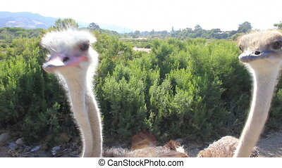 Hungry Ostrich - A herd of hungry Ostriches