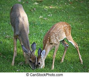 Hungry pair of whitetail bucks