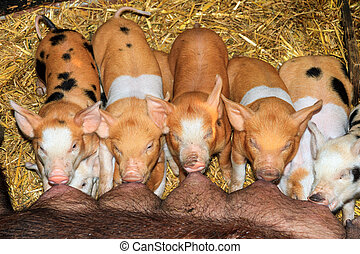 Hungry piglets
