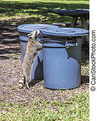 hungry raccoon searching for food in the bin