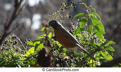 hungry robin feasting on berries - a robin feeds on abundant...