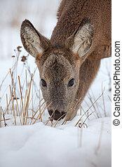 Hungry roe deer, capreolus capreolus, starving in deep snow in winter.