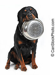 hungry rottweiler - rottweiler carrying his aluminium bowl...