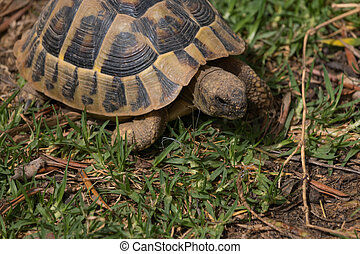 Hungry turtle eating green lettuce