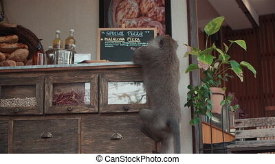 hungry wild monkey stealing piece of food in street cafe in ...