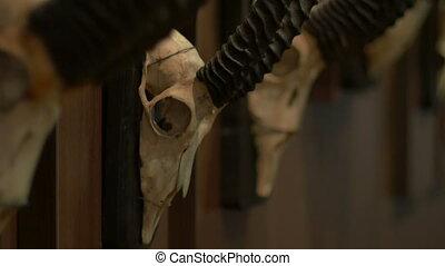 Hunted Chamois Skulls on Wall